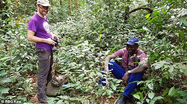 Rediscovering the species in the wild in Sierra Leone.There had been no recorded sensory information for stenophylla for 100 years, due to its scarcity in cultivation and rarity in the wild