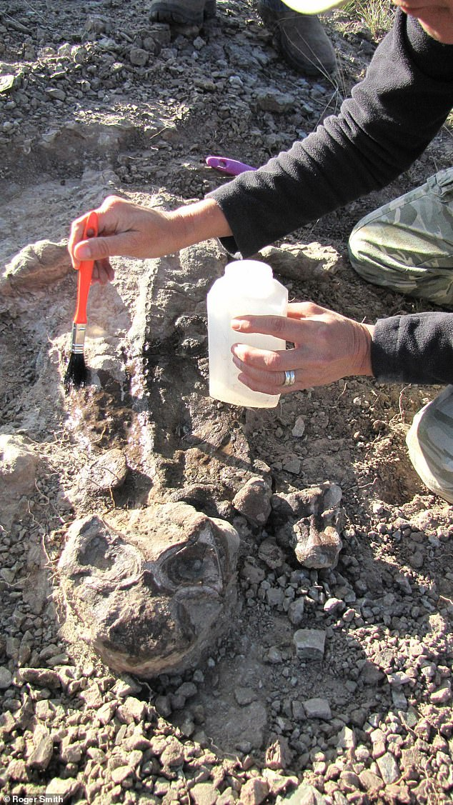 A fossil of the dicynodont Lystrosaurus, a mammal relative that survives the end-Permian mass extinction event, is collected during fieldwork in South Africa's Karoo Basin