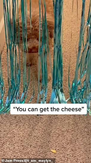 Owner Maylyn Darrow, 25, a pop singer and songwriter, tried to coax Winson through the curtain with a piece of cheese