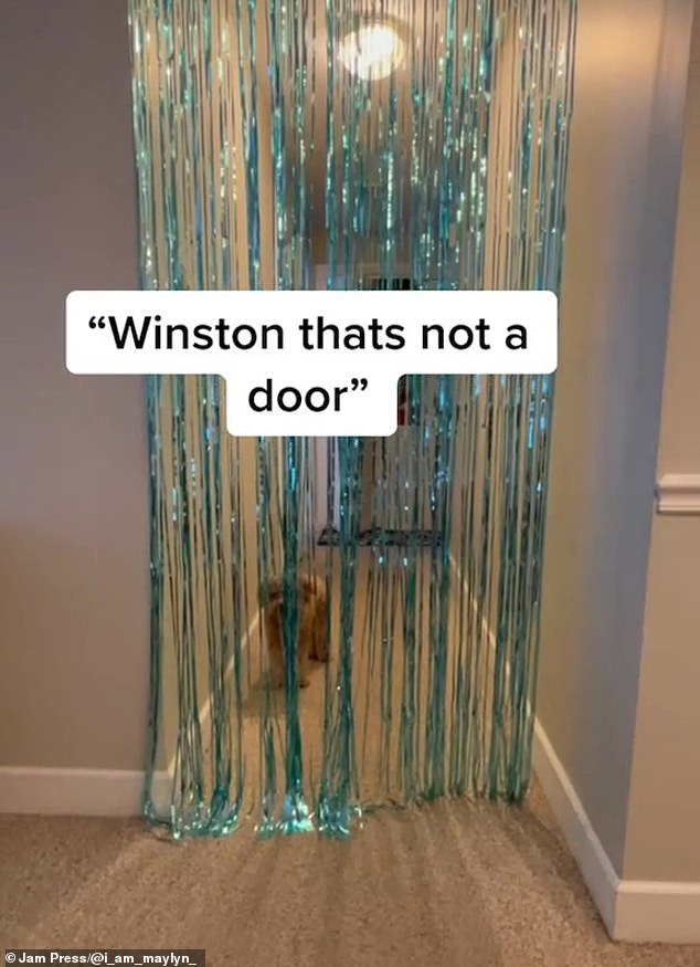 Winson, a three-year-old Cavapoo from Alabama, was stopped in his tracks by the foil party streamers which he believed to be a solid door