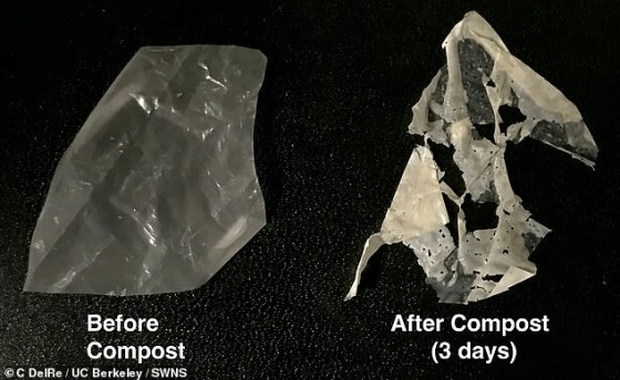 The scientists have developed the first truly biodegradable plastics that break down in just a few weeks when exposed to heat and water.  Pictured: the modified plastic containing polyester eating enzymes (left) breaks down into regular compost (right)
