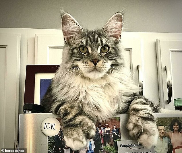 A user, from the US, showed their big cat sitting on top of the fridge, looking over what was happening in the kitchen with its huge paws dangling off the top
