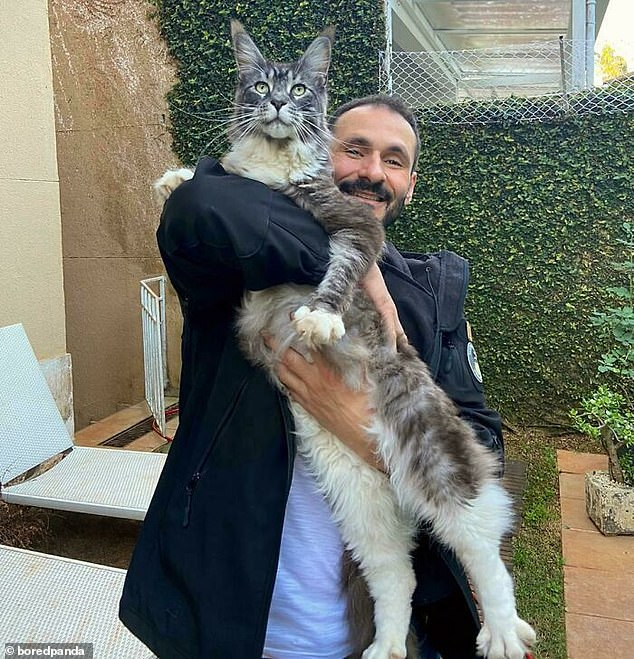 Someone else, from Brazil, shared a picture of their father with his Maine Coon cat, whose body stretched down from the man's hips to above his head