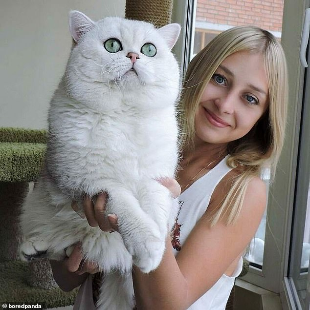 Someone else, from an unknown location, shared a photo of their beautiful white cat, who was huge and had a face just as big as theirs