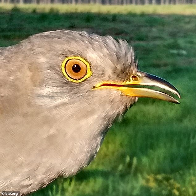 PJ was one year old when tagged, so this summer he will be six years old, taking him to within a year of the British longevity record for a ringed cuckoo