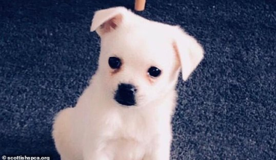 Mother-of-two Annemarie from Glasgow bought a Pomeranian crossbreed puppy Angus (pictured) online as a present for her daughters, aged six and 11 years old. The dog contracted parvovirus and soon after died