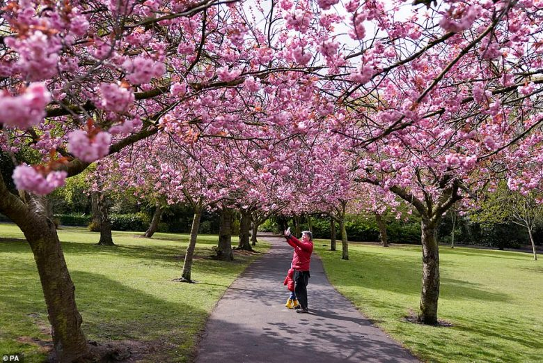 Heavy bursts of rain are expected in the far southeast, northern and northeastern parts of the UK tomorrow as temperatures plummet below 50F for the rest of the week. Pictured, cherry blossom at Saltwell Park in Gateshead, Tyne and Wear, today