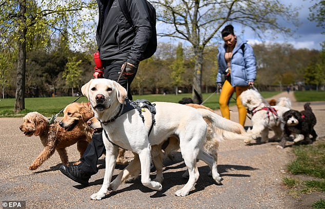 One crime type that has risen in prominence during the pandemic is, oddly, pet theft – mainly the stealing of dogs. At present this crime is far too often dismissed as relatively trivial – on a par, say, with shoplifting (stock image)