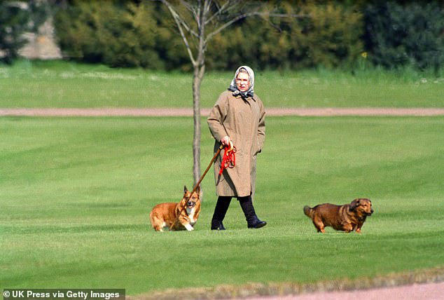 The Queen has been hit with another security scare after a male and female intruder scaled a fence and broke into her Windsor estate, reports claim. Pictured: The Queen walking her dogs in Windsor in 1994
