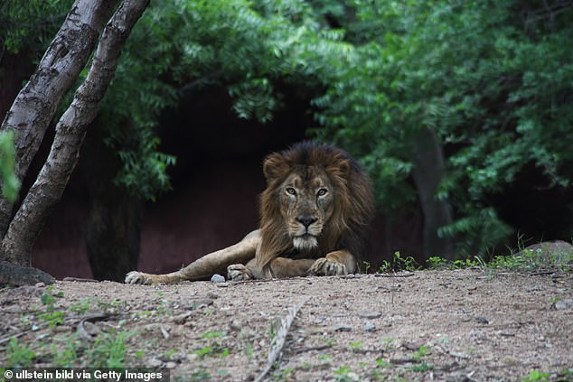 Four males and four female lions (above: file photo of the Asiatic lion at Nehru Zoological Park), out of a total of 12 in the 40-acre safari area, have tested positive for the coronavirus