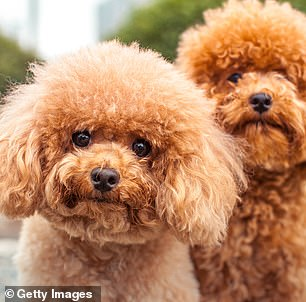 Pictured, Miniature Poodles, which were found to be the second most aggressive dogs. Small dogs were found to be more likely to behave aggressively than mid-sized and large dogs, but due to their size it is often not seen as threatening and therefore goes unaddressed