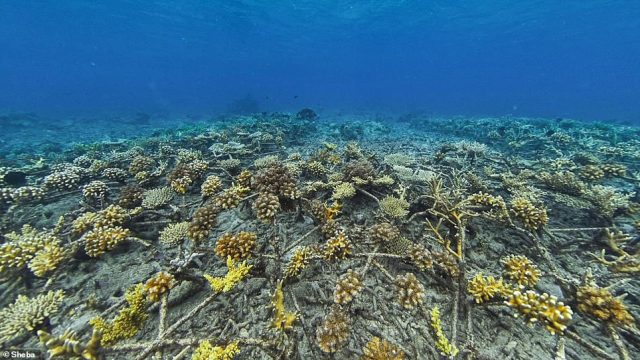 Coral cover has increased from five to 55 percent off the coast of Sulawesi, fish abundance has increased and other species like fish and sharks have returned