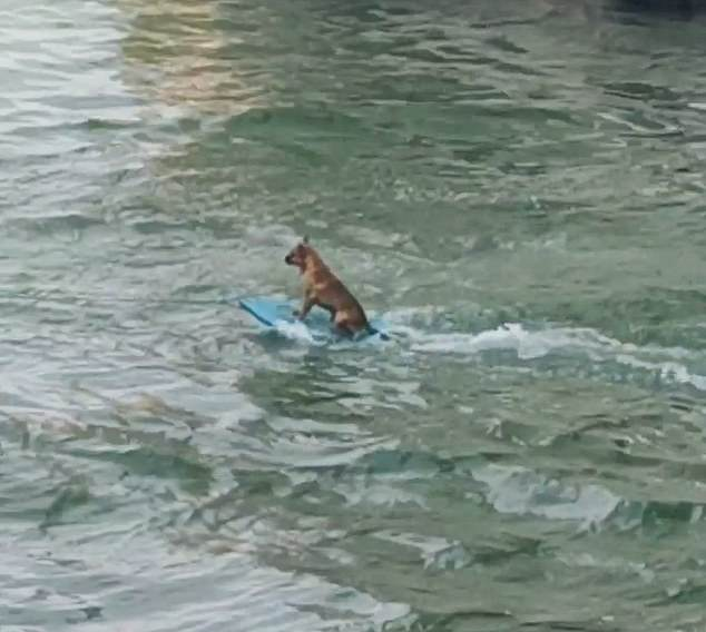 Hugo Severino was walking along the bank of the Papaloapan river in Alvarado, Veracruz, on May 2 when he saw the dog, pictured, being towed on a blue wakeboard behind a motorboat