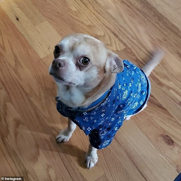 The advert described the dog as a 'man-hating, child-hating Gremlin' who had created a 'Chihuahua hellscape'