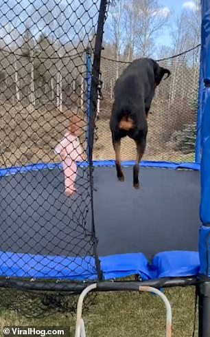 WATCH: Three-year-old Girl and her Rottweiler Leap Around On a Trampoline
