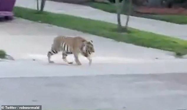 The tiger, identified by a neighbor as a Bengal, approaches a man with a weapon trained upon it in menacing fashion