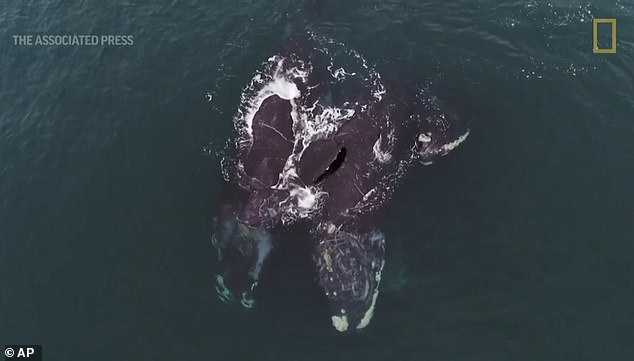 Drone footage of two critically endangered North Atlantic right whales swimming in Cape Cod Bay shows the animals appearing to embrace one another with their flippers