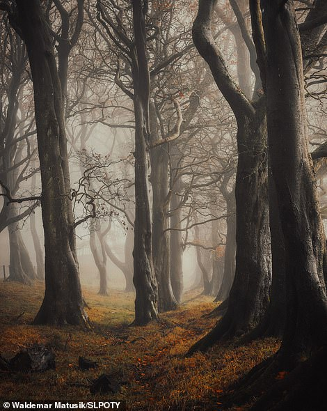The winner of the treescapes category was Waldemar Matusik with this amazing image he snapped in woods in Bathgate, West Lothian. He explained: 'There were misty and atmospheric weather conditions for a week or so, which is perfect for woodland photography. I went to my favourite local woods and used a telephoto lens to increase the depth of field and create space between the trees as they faded into the gloom. The thick fog was beautiful, which boosted the magic of the place'