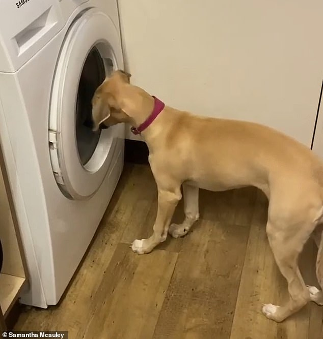 Pixie the four-month-old whippet cross puppy was transfixed by the washing machine at her owner Samantha Mcauley's home in Loftus, Cleveland, on Sunday night