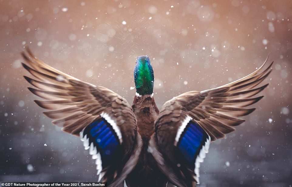 Sarah Boehm took this striking shot of a duck, titled Conductor, and was rewarded with sixth place in the Birds category