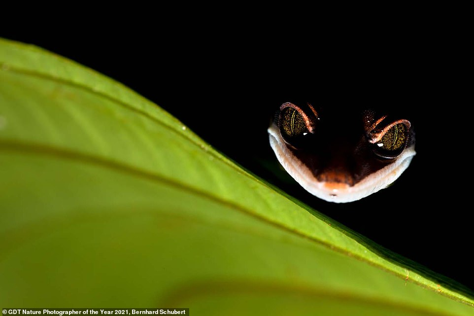 Bernhard Schubert from Austria took this beautifully lit image of a cat gecko looking over the edge of a leaf while in Borneo. It was awarded second place in the Other Animals category