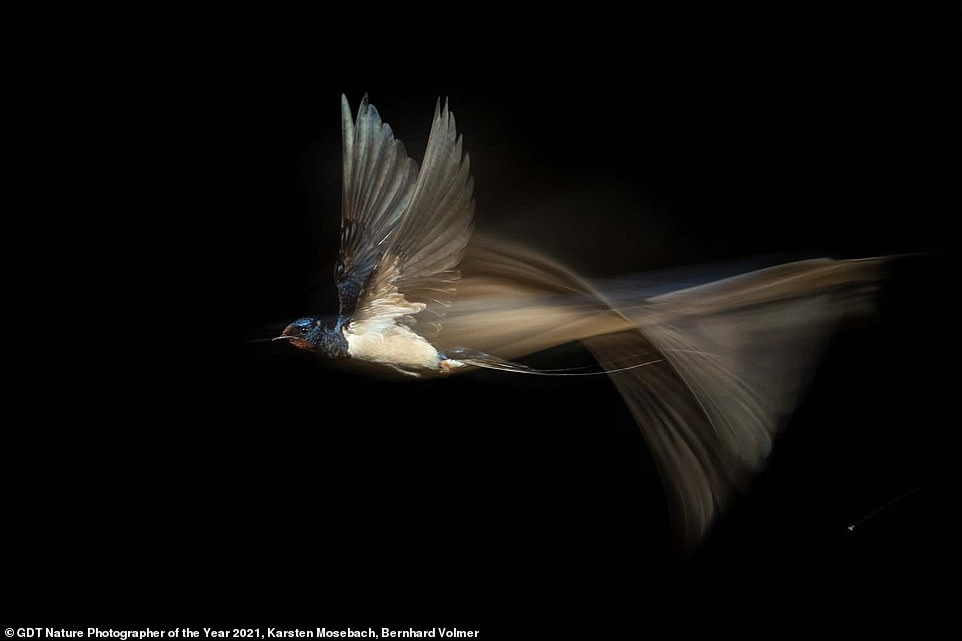 Photography duo Karsten Mosebach and Bernhard Volmer from Germany were voted as the overall winners with their stunning long exposure shot of a barn swallow in flight. The image, which the judges said 'was not an easy task' to capture, also came first in the Birds category