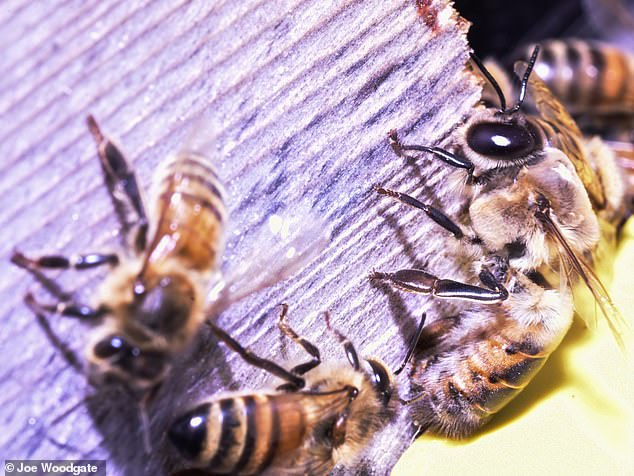 Just like 'men in nightclubs', male honeybees, or 'drones' (pictured , swarm in certain areas when looking to mate, but female bees only make rare appearances