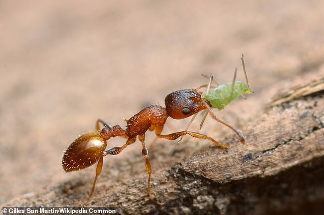 The parasite is playing the long game: It makes theTemnothorax ant so docile it doesn't flee when a woodpecker approaches. The tapeworms lay their eggs in the bird, continuing the cycle of life