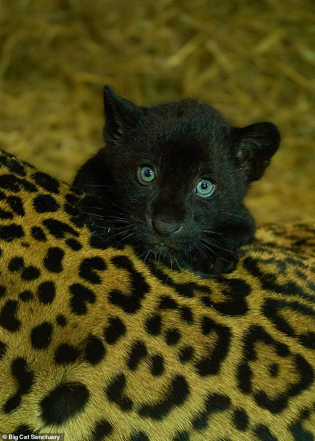 Jaguars exist in the wild in 18 countries in the Americas, from Mexico to Argentina, according to Wildlife Day
