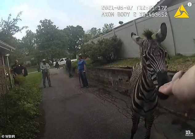 Body-camera video captured the moment Tennessee cops tasered a zebra after it escaped from a wild animal auction and led them on a three-hour chase