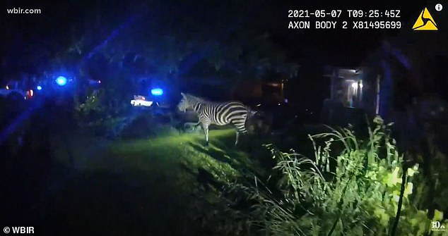 Officers spent the next several hours tracking the zebra through backyards and alleys