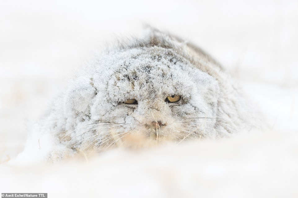Highly commended in the wild portraits category is Amit Eshel with this beautiful shot of an elusive Pallas's cat in Mongolia. He explains: 'After six full days of searching we were lucky to find this cat lurking for prey in the snowy steppe. The cat was covered in fresh snow, which made him look like an unfamiliar creature - a snow monster!'