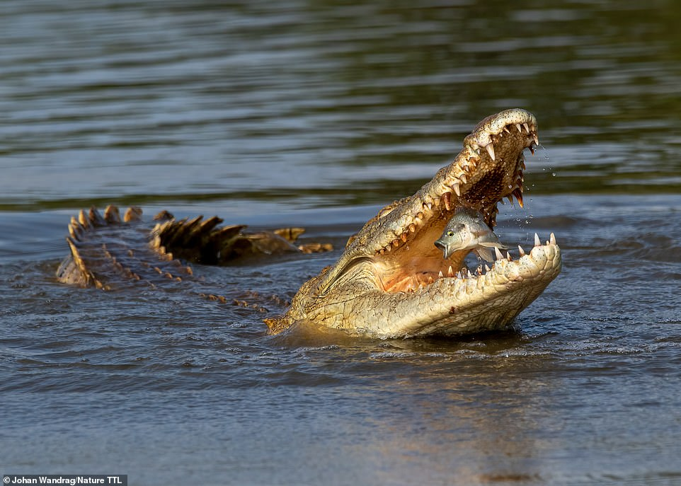 An incredible image taken by Johan Wandrag in South Africa of the moment a fish is snapped up by a crocodile. It is the runner-up in the animal behaviour category. Johan says: 'The look of surprise really made this shot stand out to me'