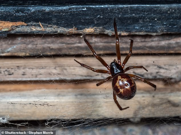 Cases of bites from the noble false widow spider (pictured) are on the rise in the United Kingdom and can be serious enough as to require hospital treatment, scientists have warned