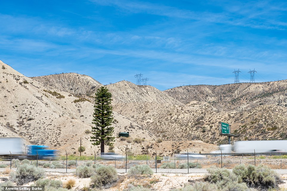 The above image captures a phone tower disguised as a pine tree in Gorman, California