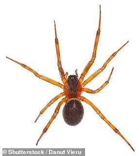 Pictured: a noble false widow spider