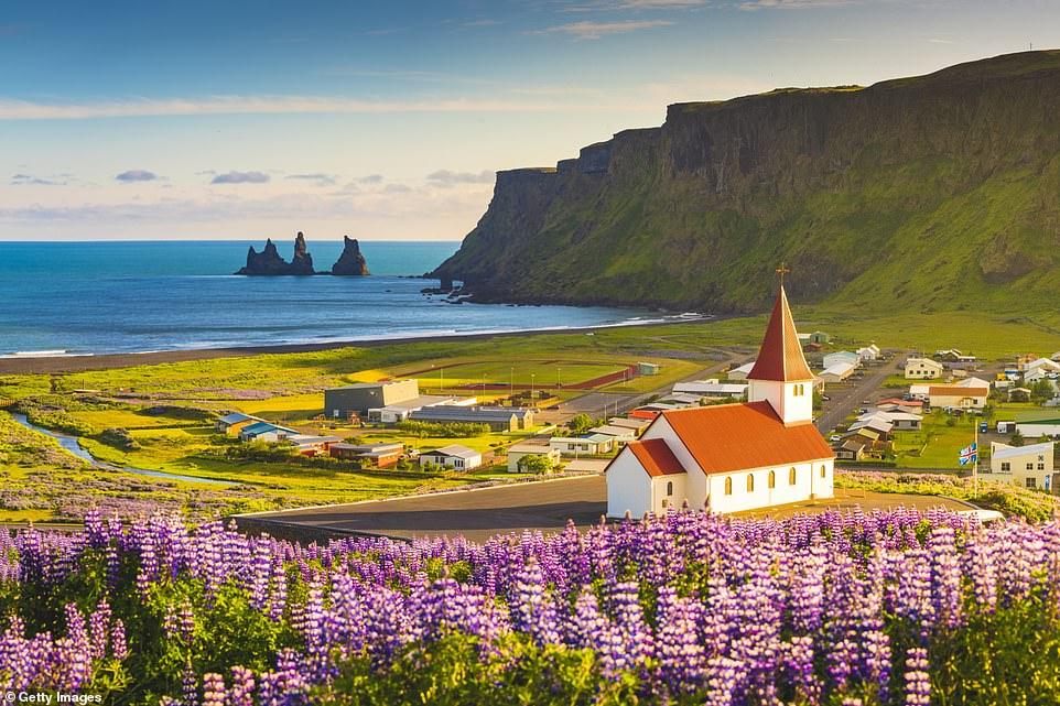 Iceland awaits: Lupin fields in bloom by the remote coastal village ofVík í Mýrdal in southern Iceland