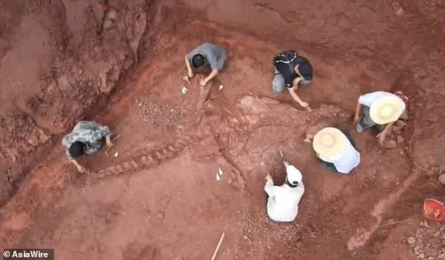 The fossil has been described as a 'national treasure' and excavators are now hoping to excavate the dinosaur's skull