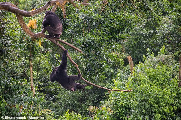 In their study, Dr Carvalho and colleagues analysed data from the International Union for Conservation of Nature (IUCN) on ape populations, threats and conservation actions at hundreds of different sites across Africa over two decades Pictured: chimpanzees climbing up into the forest canopy