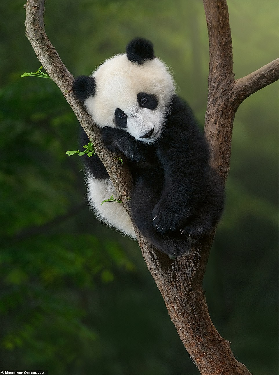 'When a panda cub is born, it is pink, blind, and toothless, weighing only 90 to 130g (3.25 to 4.5 oz), proportionally the smallest baby of any placental mammal,' Marsel explains in the book. He adds: 'One to two weeks after birth, the cub's skin turns grey where its hair will eventually become black. A month after birth, the colour pattern of the cub's fur is fully developed.' He took this cute snap in China