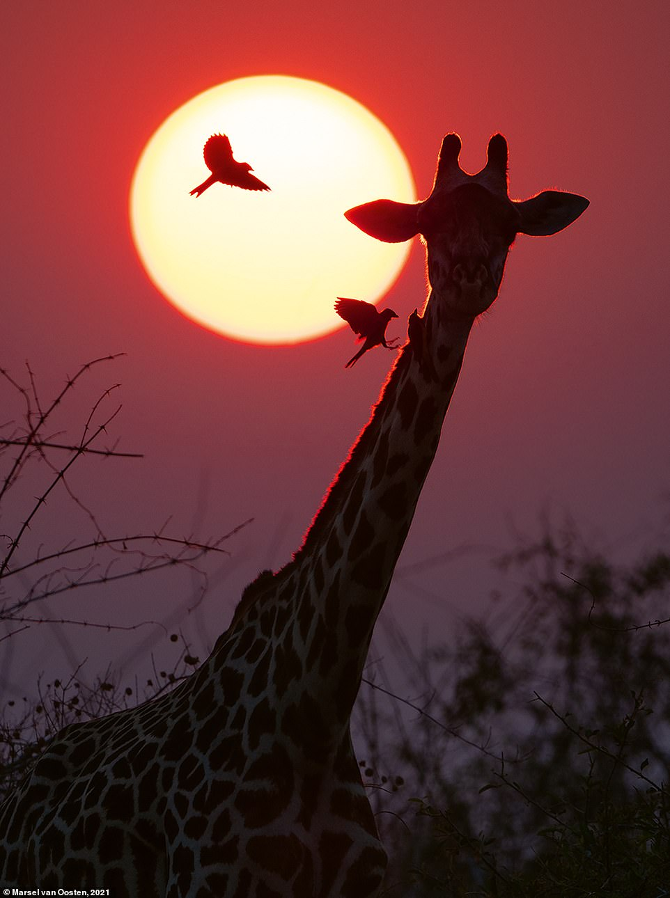 In the book, Marsel explains how he shot this incredible image on a windy morning in Botswana. He explains: 'There was a lot of dust in the air, which can create very colourful sunrises and sunsets. This giraffe was annoyed by the red-billed oxpeckers that were harassing it. Every now and then it would violently shake its head, which made the birds fly off, only to return a few seconds later'