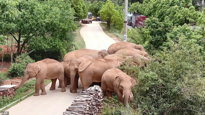 Since beginning their epic journey, the elephants have wandered the streets, broke into barns and munched their way through farmland, causing an estimated 6.8 million yuan ($1.1 million) worth of damagea