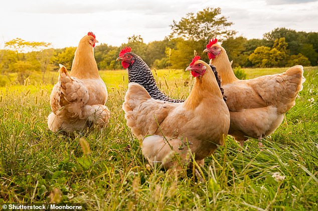 Chickens lived significantly longer in the Iron Age , Roman era and Saxon period because they held were seen as sacred, rather than a food source, a study found