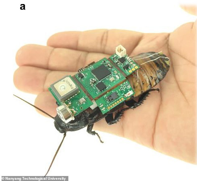 In an impressive scientific feat, researchers from Nanyang Technological University in Singapore have fitted backpacks to a cockroach to dictate the direction of its movement