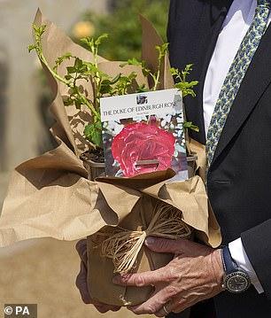 A Duke of Edinburgh rose, pictured