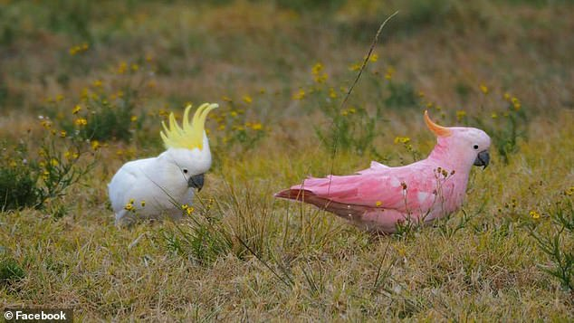 A pink cockatoo (left) was spotted in the south-Sydney suburb of Menai in 2017