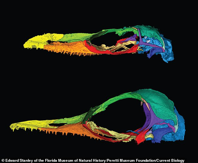 Comparison: The animal's confirmation as a lizard followed the use of CT scans to analyse the fossils. Oculudentavis naga (top) is in the same genus as Oculudentavis khaungraae (bottom)