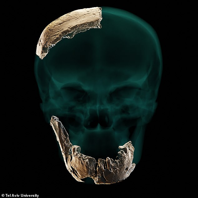 Archaeologists have unearthed a new type of prehistoric human that emerged 400,000 years ago and which is thought to have likely interbred with Homo sapiens. Pictured: a 3D model showing the skull and jaw fragments of the newly identifiedNesher Ramla Homo