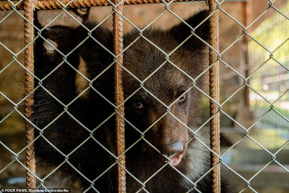 Ukrainian laws allow keeping of bears in public zoos and sanctuaries as well as in private captivity if the owners can prove they have not been caught in the wild but were purchased or rescued instead
