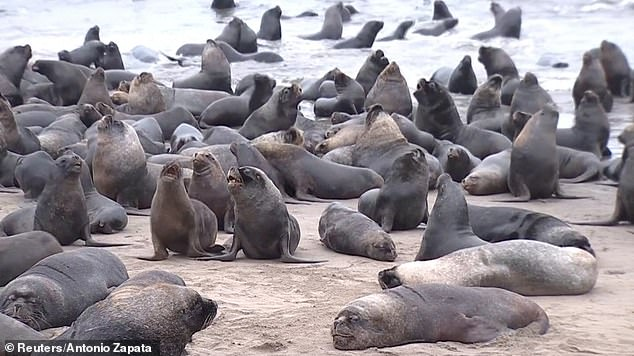 More than 3,000 sea lions took a beach in the Bio Bio region in the centre of Chile to flee from the gale-force winds and predators such as killer whales